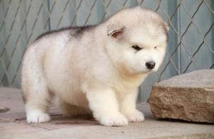 带你了解真正的阿拉斯加雪橇犬