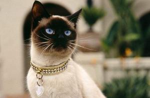 """暹罗猫先别急着买,它的""""优缺点""""你都了解吗?"""