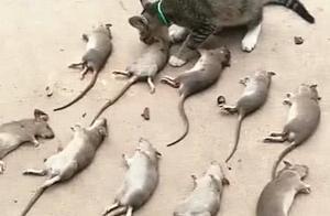 主人家里闹老鼠,猫咪出手逮个正着,次日主人才知它还有强迫症