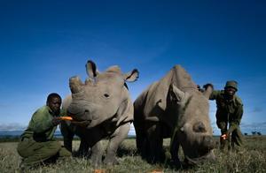 大批北非白犀牛惨死人类枪口之下,全球仅剩2头,科学家发愁