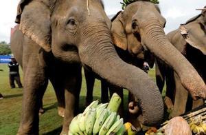 泰国数十座象园被迫关闭,上千头大象或将面临失业?网友:良知呢