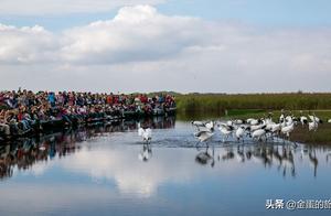 游客手机就能拍出丹顶鹤飞翔清晰照片,这是中国最美丹顶鹤保护区