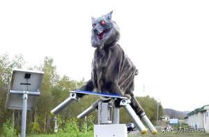 日本出奇招:开发机器人怪物狼来防止熊袭击人类