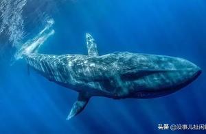 你知道历史上最大的动物是什么?有多大吗?