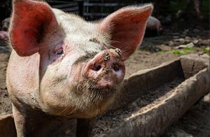 12日猪价止步连跌,行情触底反弹,4个坏消息猪价上涨昙花一现