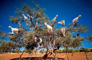 你看,这棵树上长满了羊...