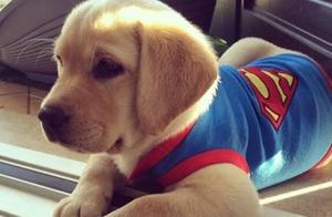 免费领养导盲幼犬一年半,长大后主人必须送走爱犬