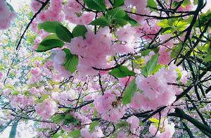 樱花,有了新的花语