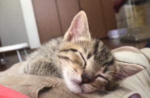 今日份治愈!一只趴在肚子上睡觉觉的小喵咪,我感觉我要流鼻血了