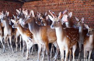 逛百年鹿乡大集,寻觅梅花鹿的发源地