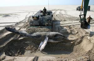 海滩上突然出现了鲸鱼尸体,荷兰出动战斗救援车干一件事