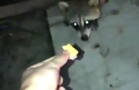 随手投喂了一只小浣熊,结果往它身后一看……