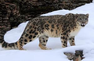 物种百科:雪豹