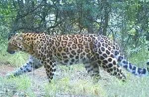 """陕西子午岭发现中国境内最大野生华北豹,它们为何""""选择""""延安?"""