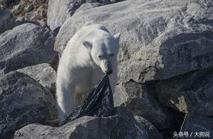 饥饿北极熊无处觅食,摄影师拍到它们撕咬塑料垃圾,人类警钟?