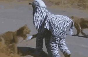 """两名男子假扮斑马跑进野生动物园 结果被狮子把""""头""""咬下来了"""