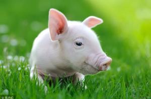 生猪价格涨涨跌跌,养猪老手告诉你,这样才能卖个好价钱