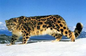 雪豹不能吼叫?只因一块骨头的改变,从此只能叫不能吼