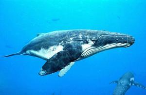 蓝鲸一口可以吞掉多少吨的水?蓝鲸太能喝了!