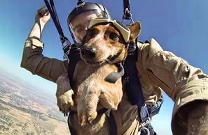 军犬第一次和队友一起参加高空跳伞,没想到一脸淡定