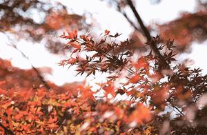 湖北最强赏秋指南!这9处美出天际的红叶承包了湖北整个秋天