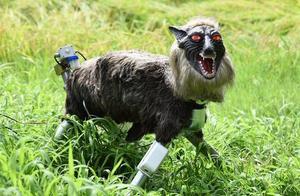 红眼、白牙、黑毛,这不是怪兽,而是日本专家研发的超级机器狼!