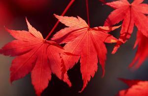 正是红叶漫山时?山东最美红叶?临朐石门五大经典红叶谷之一?