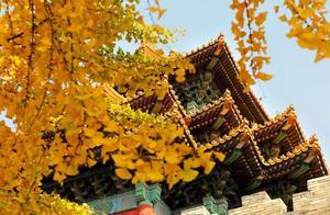 紫禁城的银杏有多美,很多人不知道