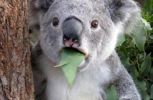 萌蠢的考拉,小时候吃妈妈的便便大了吃有毒叶子,如今越来越稀有