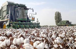 新疆雪白的棉花