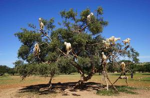 为什么成群的山羊会在树上?