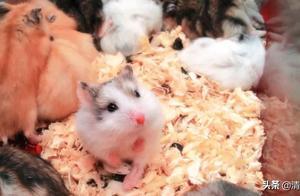 仓鼠,像扭转的魔方,每一面都可爱得不一样