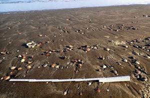 日本海滩惊现大量文蛤,百年未见景象引民众捡拾,或为地震前兆?