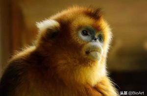 我国珍稀濒危物种川金丝猴起源和群体历史研究取得重要进展