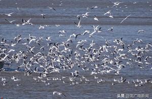 壮观!松花江哈尔滨段百万候鸟大迁徙