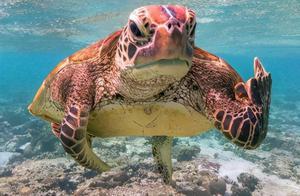 2020搞笑野生动物摄影奖出炉,澳洲一只竖中指的海龟赢得冠军