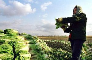 大白菜批发价创新低,农民一亩地亏400元,说好的囤白菜过冬呢?