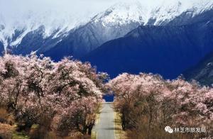 西藏林芝桃花节明天开幕!一起去看雪域高原上的最美春色