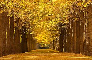 盘点京城八大赏银杏地,秋季风景美如画,看看有你去过的吗?