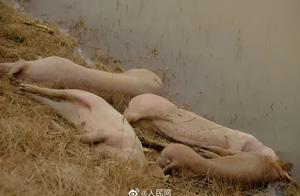 黄河大堤死猪事件 官方已成立应急处置领导小组