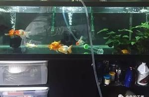 金鱼饲养中的换水方法谈,如何给金鱼换水,什么时间换水?
