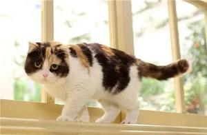 """田园三花猫:名副其实的""""宝藏猫咪"""",养过的都说太聪明了"""