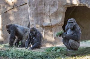 人类和大猩猩同祖先又添证据?8只大猩猩感染新冠,有3只在咳嗽