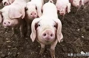 2021年养猪业八大猜想:谁将成为第一个出栏3千万头猪企?00后当场长,青春风暴来了……