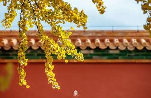 红枫金杏朱墙黄瓦!600岁故宫限定秋色已上线!太美了