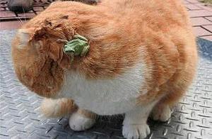 橘猫发现青蛙正准备去抓,没想到被反杀:妈,这绿蛤蟆扒拉我
