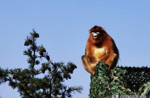 高新区首次发现国家一级保护动物川金丝猴