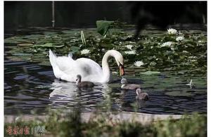 """吉林大学白天鹅""""添丁"""",3个天鹅宝宝诞生"""