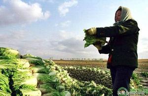 大白菜价格进低谷,收购价不到2毛,什么原因造成价格低?