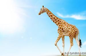 """草原""""大高个"""",逆形生长的奇葩-长颈鹿"""
